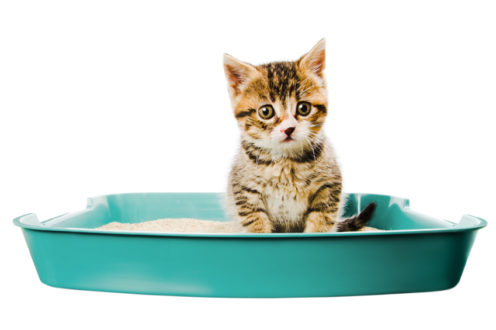 কিভাবে কিটেনকে পটি ট্রেইন করবেন (How to potty train kitten)